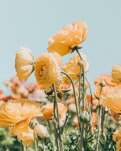 Daydream: A Picnic in a Flower Field, Somewhere — the tangled tomato Spring Aesthetic, Nature Aesthetic, Flower Aesthetic, My Flower, Wild Flowers, Beautiful Flowers, Aesthetic Backgrounds, Aesthetic Wallpapers, Mellow Yellow
