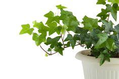 low water/light indoor - english ivy