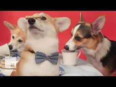 A Bunch Of Corgis Had A Tea Party To Celebrate The Queen's Historic Reign