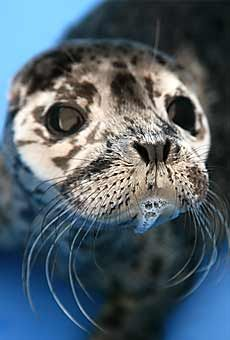 A baby harbour seal at the the Vancouver Aquarium Marine Mammal Rescue Centre, which is a hospital for sick, injured or orphaned marine mammals. The Centre rescues and rehabilitates these marine mammals for release back into their natural habitat.
