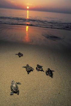 Zien hoe kleine zeeschilpadjes hun weg naar de zee zoeken #ikreisgraag @reisgraag
