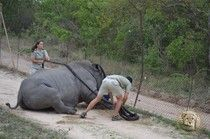 This Is What A Rhino Goes Through If It Survives Dehorning