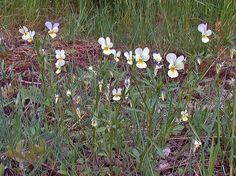 Åkerviol, Viola arvensis - Blomväxter - NatureGate Plants, Plant, Planets