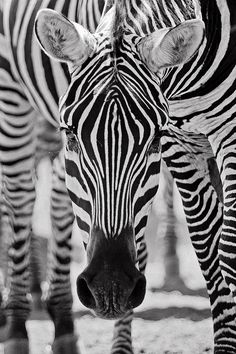 Zebras are actually black with white stripes.