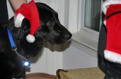 Reasons that puppies make bad Christmas gifts #dogs