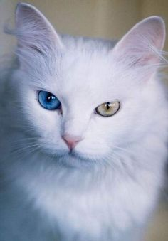 Turkish Ankara Angora Odd-Eyed Cat. More than 20 varieties including white, black, blue, tabby, tabby-white, and reddish fur. Eyes may be blue, green, or amber, or one blue and one amber or green eye.