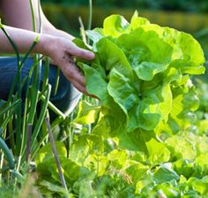 Lettuce-Growing Secrets | Food