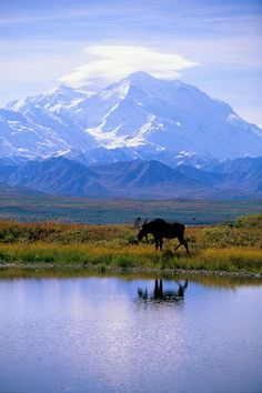 ✯ Alaska, Denali National Park, a moose walks along glassy pond, snow covered mountains in background