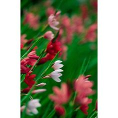 Kaffir Lily Flowers In Bloom Canvas Art - Panoramic Images (12 x 19)