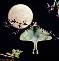 American Moon Moth & moon photo -I like the branch. Need different moth Lunar Moth, Moon Moth, Moon Photos, Beautiful Bugs, Beautiful Creatures, Animal Photography, Moon Garden, Artsy, Butterfly
