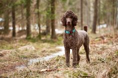 Brown poodle standing in the springtime forest ready for action - Brown poodle standing in the springtime forest ready for action.