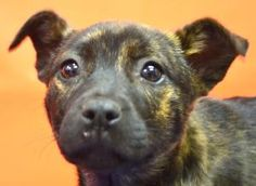 RIO is an adoptable Shepherd Dog in Denton, TX. AVAILABLE 2-22 0-3 MONTHS OLD  Adoption fee is $120. It pays to have the dog spayed or neutered; Rabies, Bordetella and DHLPP Vaccines; treatment for ...