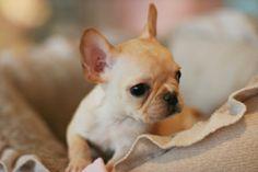 Teacup French Bulldog Puppies......sooo tiny.......sooo adoorable