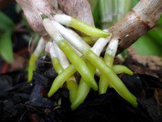 Adubação, Substratos e Nutrição de Orquídeas