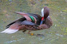 Meet a beautiful Bahama pintail duck