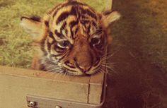 Tiger kitten http://ift.tt/2goQG4Q