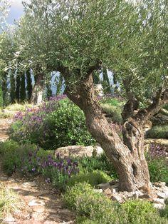 Mediterranean olive garden - a show garden at the RHS Spring Gardening Show, Malvern
