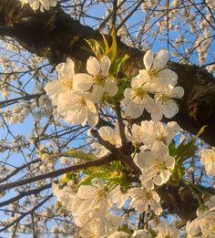 Kirschblüte im Frühling Plants, Photos, Nature, Gardening, Nice Asses, Plant, Planting, Planets