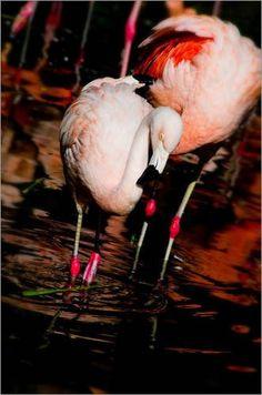 """Poster 20 x 30 cm - """"Flamingo"""" von Tanja Riedel - auch in anderen Größen und als Leinwandbild erhältlich von POSTERLOUNGE, http://www.amazon.de/dp/B009E5RIU2/ref=cm_sw_r_pi_dp_zyx0qb1YA3VYG"""