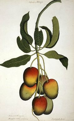 Unknown (Indian) Mangifera Indica 19th century