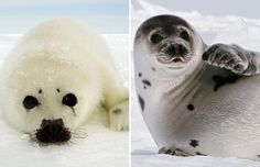 harp seal pup Harp Seal Pup, Baby Harp Seal, Seals, Polar Bear, Cute Animals, Creatures, Beautiful, Adorable Animals, Pretty Animals