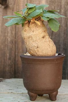 Unusual Plants, Rare Plants, Exotic Plants, Cool Plants, Tropical Plants, Growing Succulents, Cacti And Succulents, Planting Succulents, Fruit Plants