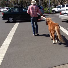 Walking the pony, only in Sonoma...