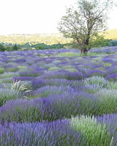 French Larkspur {lavender field, Sault, France}