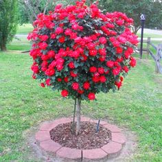 The Rose Tree that Revolutionized the Gardening Industry got this for mothers day from my sweet Rana