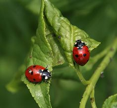 some will look at this photo and see two ladybugs...I look at this photo and see the white aphids...that are chewing on this plant and harming it...the lady bugs are there to work hard...to eat the aphids and reduce the stress on the plant...my job!