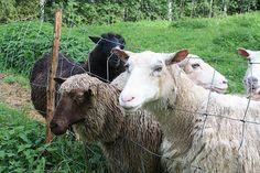 Love processing and spinning Finnsheep fleece.