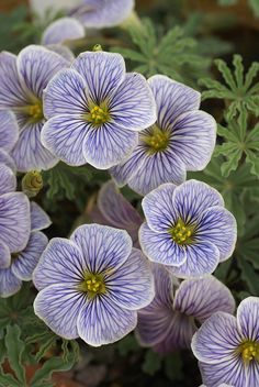 Oxalis laciniata 'Julia Johnson'- these are absolutely stunning! I couldn't find anyone selling seeds, but here is a list of nurseries with seedlings: http://backyardgardener.com/Plant-Index/Plants/Oxalis/laciniata.html