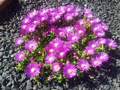 Delosperma Seeds Ice Plant Seeds Table Mountain Perennial Seeds 25 thru pelleted seeds Ground Cover Plants, Garden Seeds, Planting Seeds, Ice Plant, Plant Table, Sun Garden, Seeds For Sale, Plants