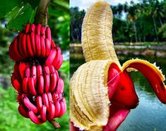 200 x Red Banana Seeds. Features: Fruit Seeds, Easy to Plant, Garden Decor. Red bananas, are a variety of banana with reddish-purple skin. They are smaller and plumper than the common Cavendish banana. Banana Seeds, Mini Bananas, Strange Fruit, Strange Things, Fruit Seeds, Tree Seeds, Wonderful Flowers, Tropical Fruits, Delicious Fruit