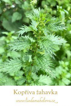 Parsley, Herbs, Herb, Medicinal Plants