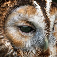Tawny owl up close by Chris Spracklen - Photo 128222879 - 500px