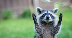 Cute but deadly Animals: Here is list of animals that are surprisingly dangerous. Please don't pet any animals before reading this, we warned you. Raccoon Paws, Cute Raccoon, Racoon, Cute Baby Animals, Animals And Pets, Funny Animals, Animals Images, Wild Animals, Wild Animal Wallpaper