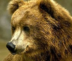 for the <3 of brown bears