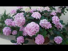 Cómo cultivar Hortensias Hydrangeas - TvAgro por Juan Gonzalo Angel - YouTube