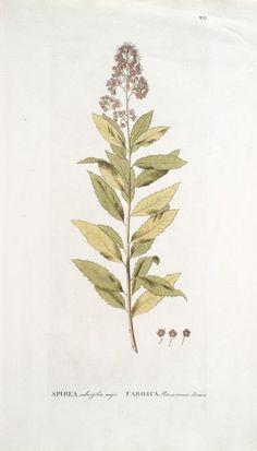 Spirea salicifolia, major; [Willow-leafed big meadow-sweet] (1784-1788)