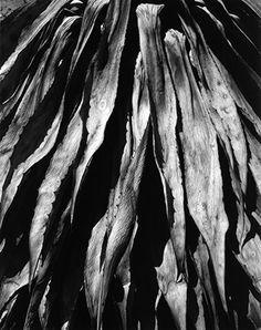 Brett Weston - Dead Century Plant Baja, California, 1964