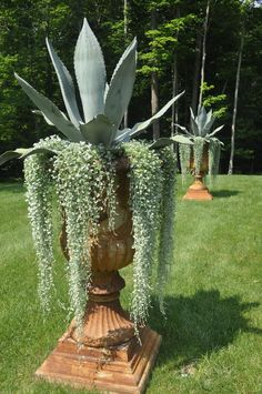 Agaves in urns. Underplanted with variegated dichondra?