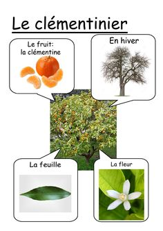 Clémentinier fiche Preschool Science, Science For Kids, Science Activities, Science Projects, Science And Nature, How To Speak French, Learn French, Alternative Education, Montessori Practical Life