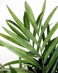 Frond Friday! Palm plants greenery