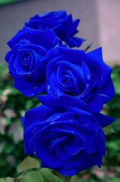 Best Of Blue Rose Flower Images And Description Beautiful Rose Flowers, Rare Flowers, Exotic Flowers, Amazing Flowers, Colorful Flowers, Flower Images, Flower Pictures, Orquideas Cymbidium, Rosa Rose