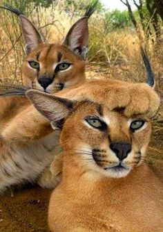"- June 2015 * * MALE CARACAL: "" Yoo, woman, are notz goin' to de Savannah party and dat's final.""* * MALE CARACAL: "" Yoo, woman, are notz goin' to de Savannah party and dat's final. I Love Cats, Big Cats, Cats And Kittens, Cute Cats, Small Wild Cats, Funny Kittens, Animals And Pets, Funny Animals, Cute Animals"