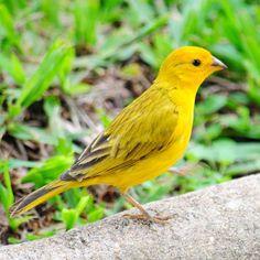 Confira lindas fotos de canário-da-terra e compartilhe com seus amigos! Beautiful Birds, Animals Beautiful, Canario Da Terra, Exotic Birds, Pets, Wings, Pretty Animals, Fluffy Pets, Yellow Birds