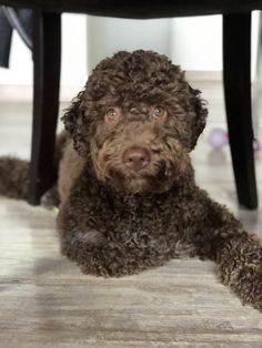 Lagotto Romagnolo 7m Labradoodle, Goldendoodles, Italian Dogs, Lagotto Romagnolo, Portuguese Water Dog, Doodle Dog, Crazy Dog Lady, Cute Funny Animals, Animals And Pets