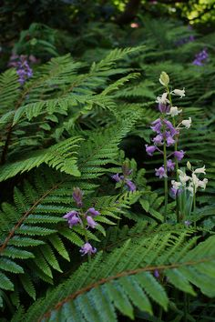 English Blue bells (Hyacinthoides) zwischen Farnen <3