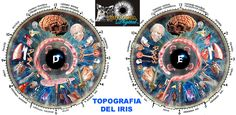 http://www.conocimientosuperior.org/amscope/iridologia_3.jpg